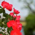 園内のバラ