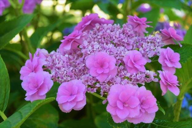 独特な色合いの紫陽花