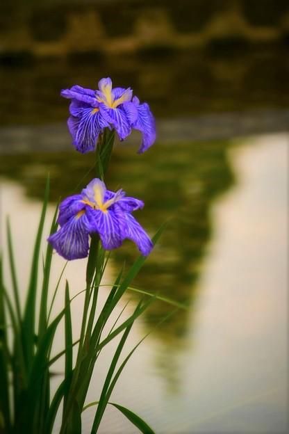 写真: 城北公園 花菖蒲