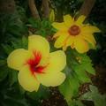 写真: ハイビスカスの花