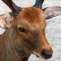興福寺にいた鹿