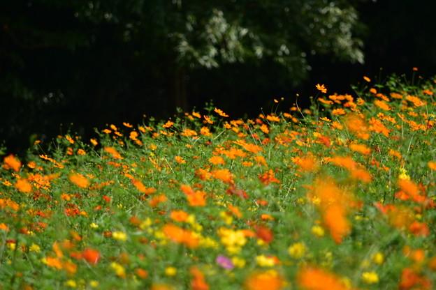 一面に広がるコスモスの花