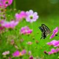 写真: コスモスとアゲハチョウ