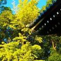 写真: 青空と銀杏