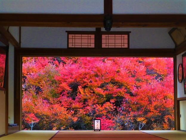 真っ赤に色づくドウダンツツジの紅葉 本堂手前からの撮影