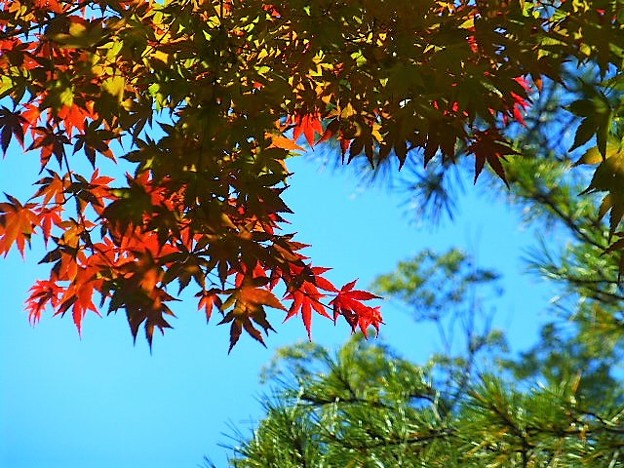 熱田神宮 紅葉