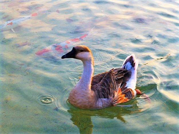 ホテルザ・パヴォーネ前のモネの池