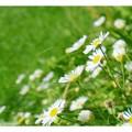 写真: 小菊の花