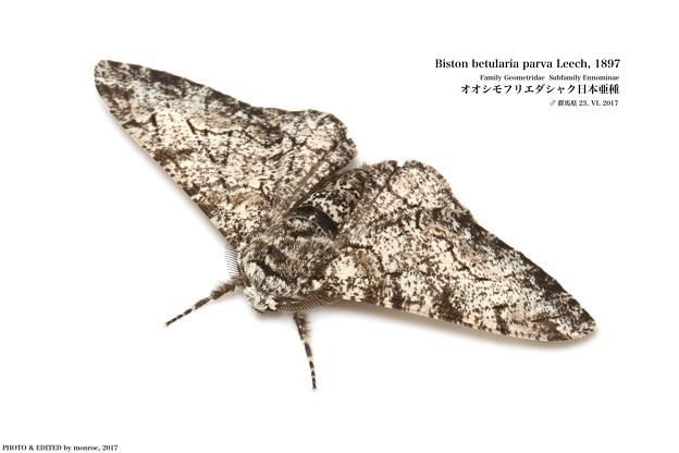 IMG_5779b_OOSHIMOFURI1109-6