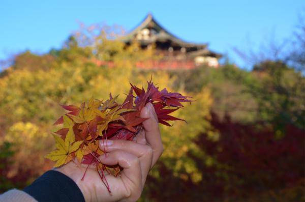 紅や黄色の綺麗なもみじの葉っぱを拾い集めた