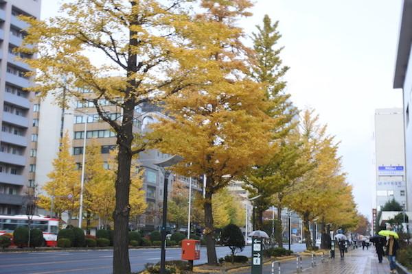 仙台市内ではイチョウ(?)が色づき始めていました
