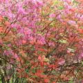 山で咲くツツジ