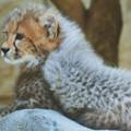 チーターの赤ちゃん1