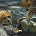 チーターの赤ちゃん2