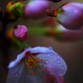 写真: 濡れ桜