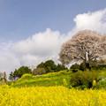 Photos: 馬場の山桜♪2