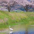 草場川の桜並木♪2
