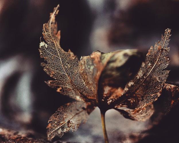 写真: 楓の葉脈