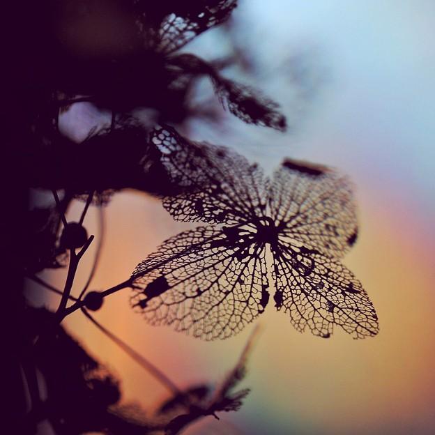 枯れ紫陽花に虹彩を・・