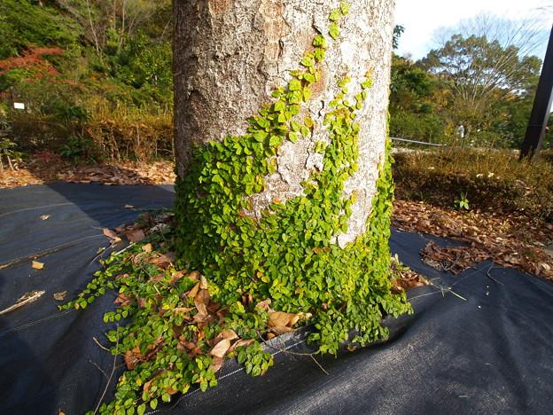 木の根元に生えるつる草