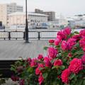 写真: ヴェルニー公園のバラ02