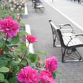 写真: ヴェルニー公園のバラ04