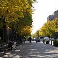 写真: 日本大通りのイチョウ 05