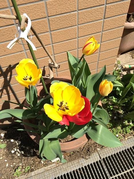 咲いた咲いたチューリップの花が