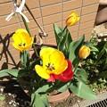 写真: 咲いた咲いたチューリップの花が