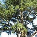 写真: 大きな樹