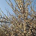 写真: 梅の花2