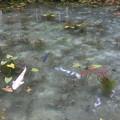 写真: なもないいけ(モネの池)^0^