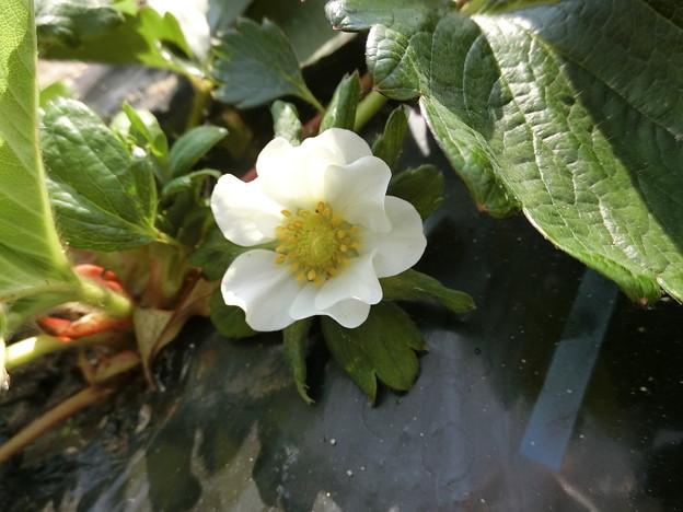 イチゴの花^0^♪