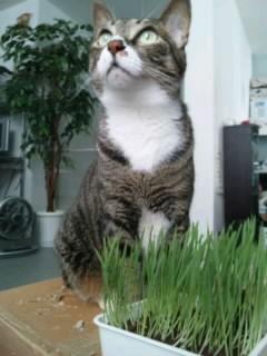猫草でびぅ。噛みきれなくて...