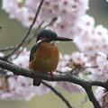 写真: 桜カワセミ(1)