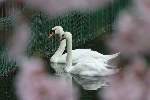 写真: 桜白鳥
