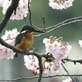 写真: お花見してるカワセミさん