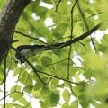 写真: アオスジアゲハをゲット