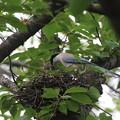 写真: オナガの巣、雛さんに給餌