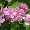 写真: ピンクのアジサイ