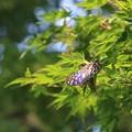 写真: 綺麗な国蝶オオムラサキ