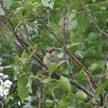 写真: 百舌鳥の幼鳥