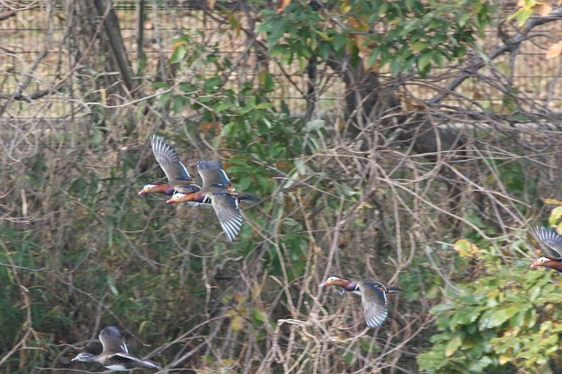 写真: オシドリの飛翔シーン
