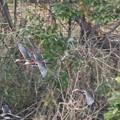 オシドリの飛翔シーン