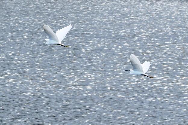 写真: 仲良く飛翔