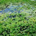 写真: 鵜の岬 スイレン池