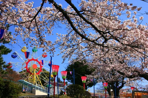 Photos: かみね公園 桜