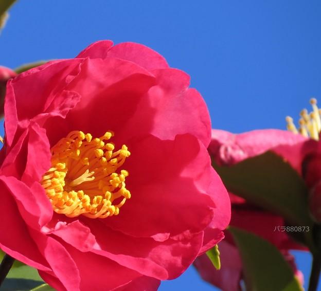 青空の青に山茶花の紅色