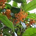 良い香りの金木犀の花
