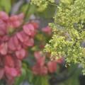 花も実もあるタイワンモクゲンジ